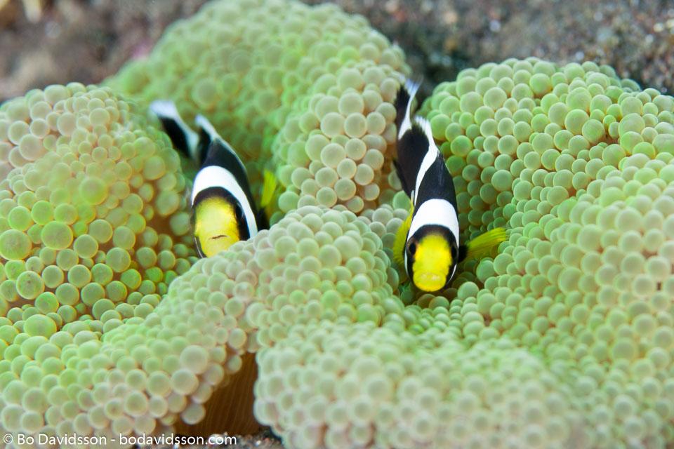 BD-130406-Tulamben-0761-Amphiprion-polymnus-(Linnaeus.-1758)-[Saddleback-clownfish].jpg